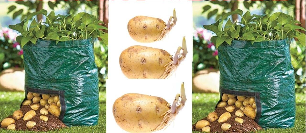Cultivo de Batatas em Sacos