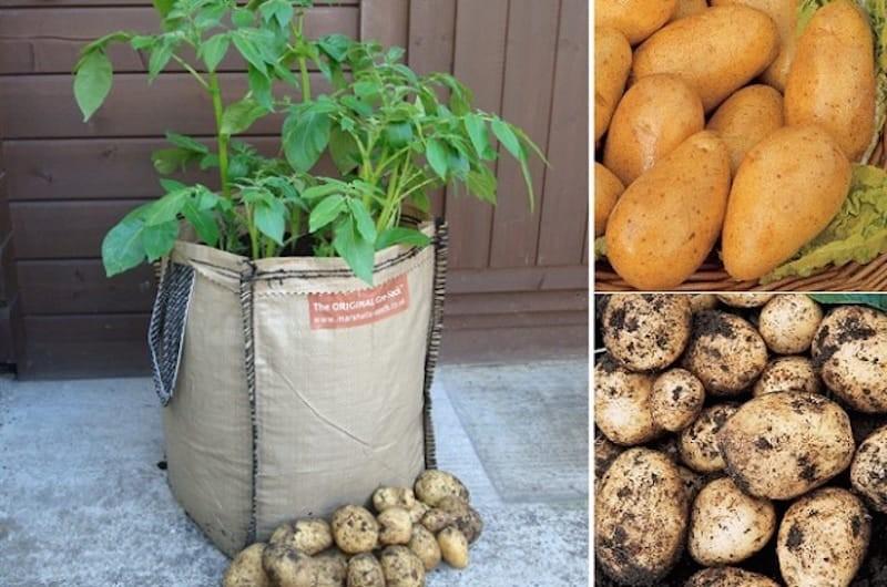 como plantar batata em sacos