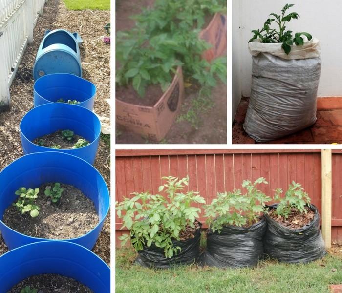 batata como plantar