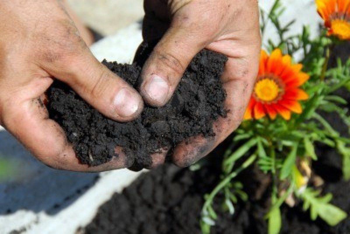 calendula como plantar