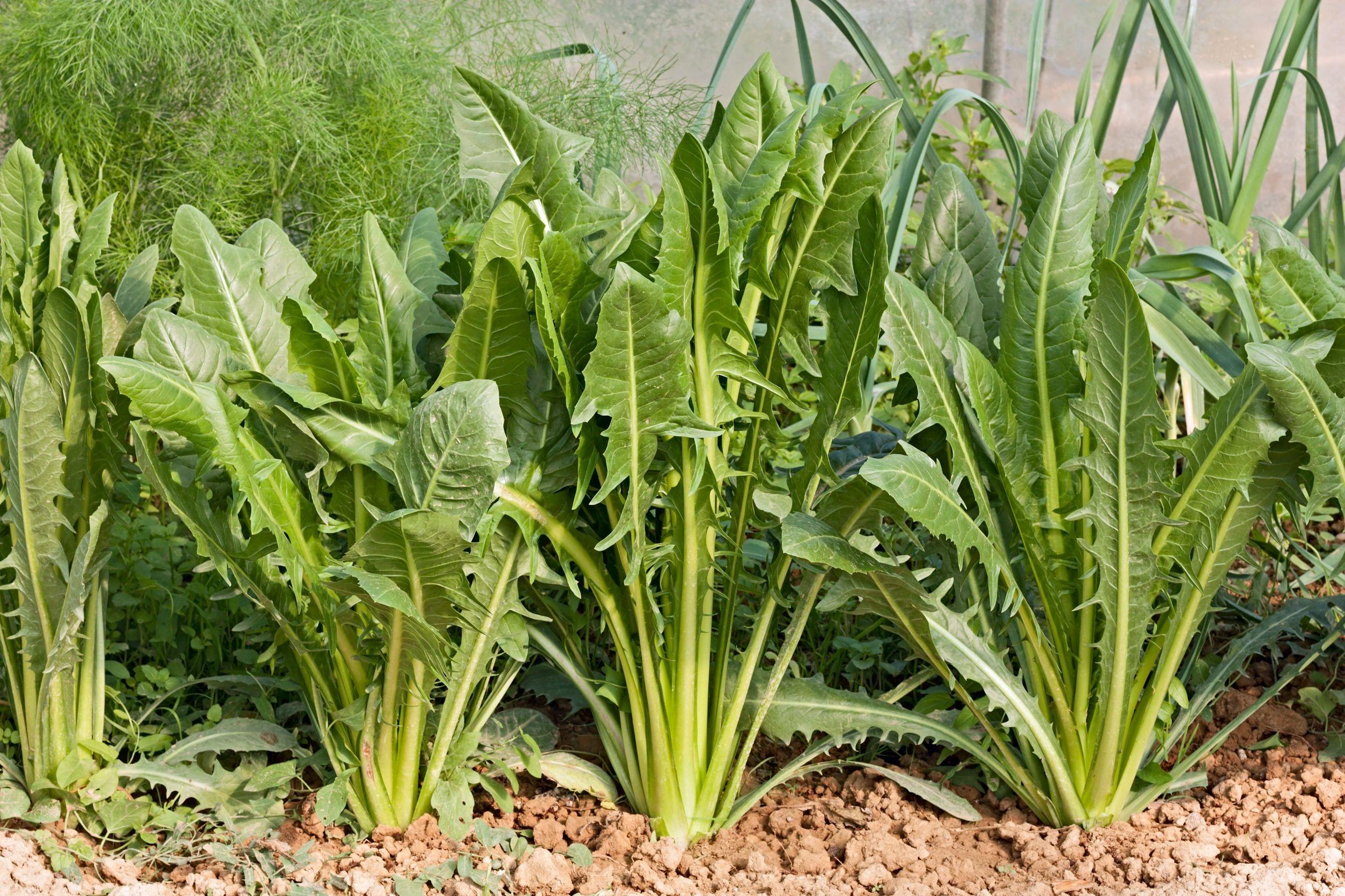 Como Plantar Chicória em Casa