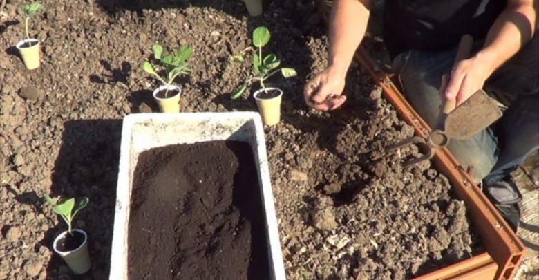 como plantar couve de bruxelas