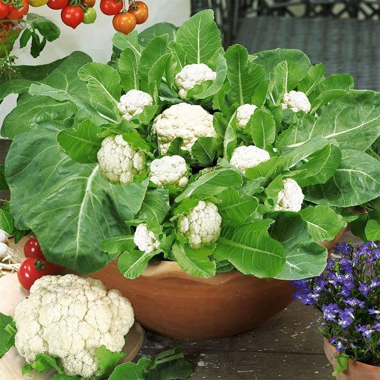 Como Plantar Couve-Flor