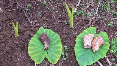 como plantar inhame em casa