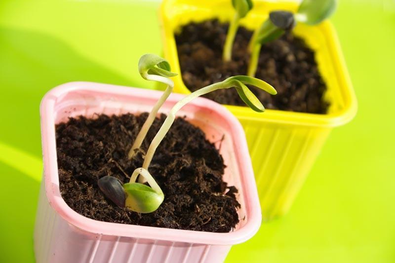 Como Plantar Lentilha