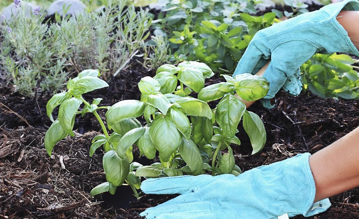 Como Plantar Manjericão
