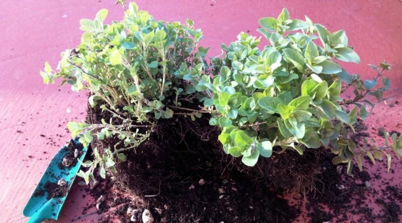 como cultivar oregano