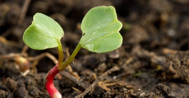 como plantar ruibarbo
