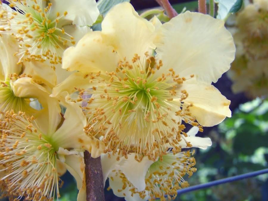 Flor da Planta Macho de Kiwi