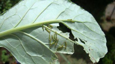 eliminar lagartas da horta.