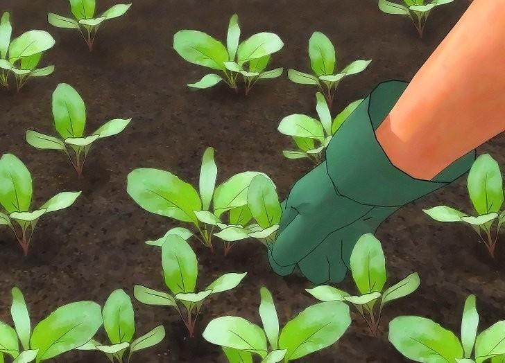 Como Plantar Nabo