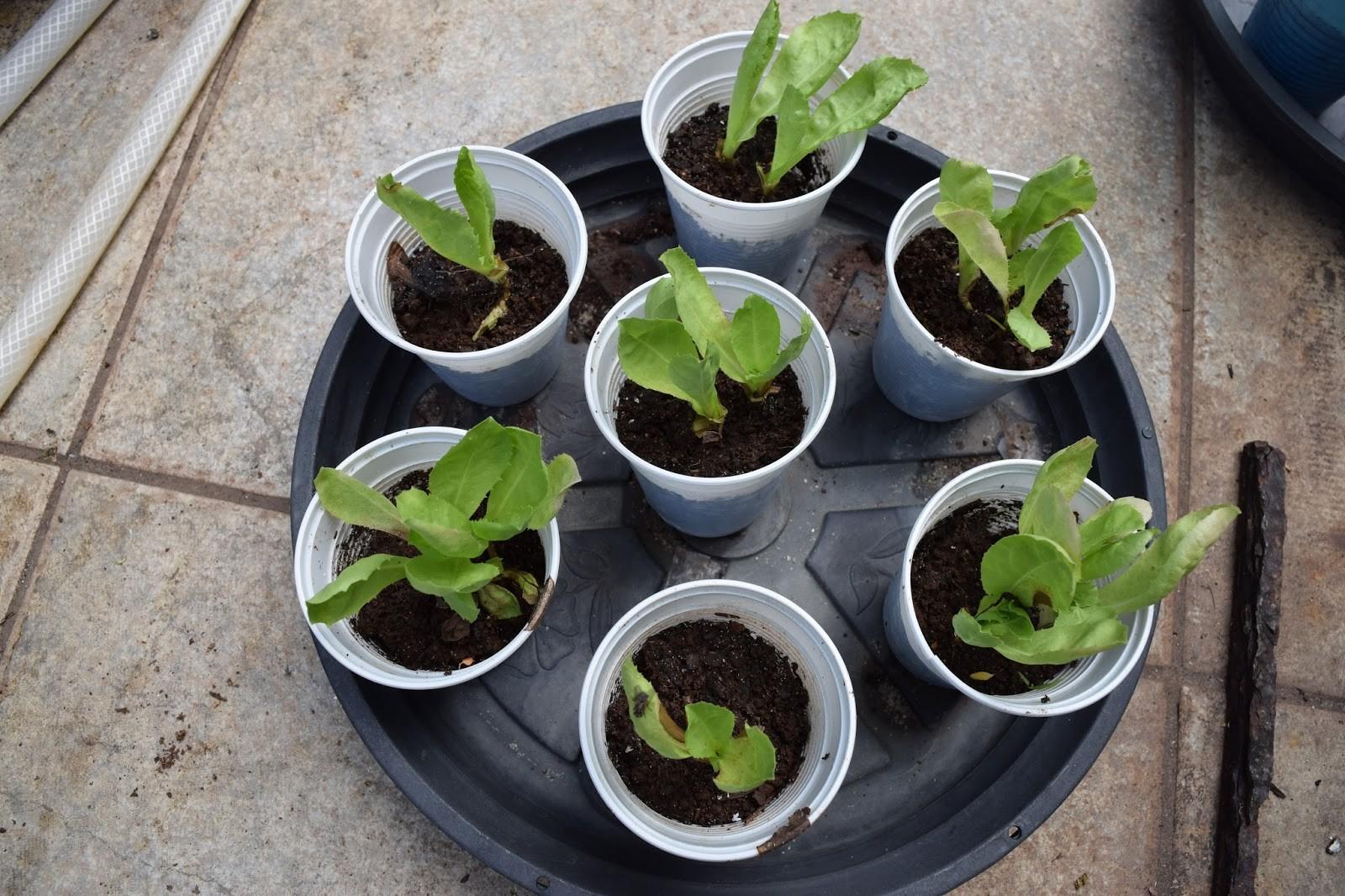 Como Plantar Chicória