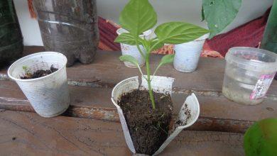 como plantar sem sementes