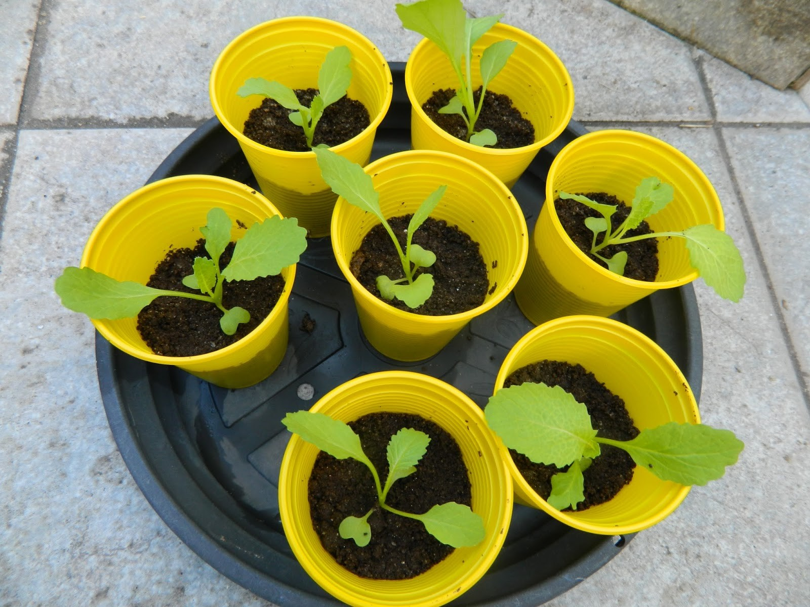 Como Plantar Mostarda