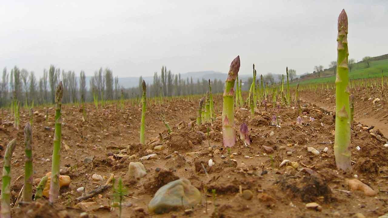 Como Plantar Aspargo