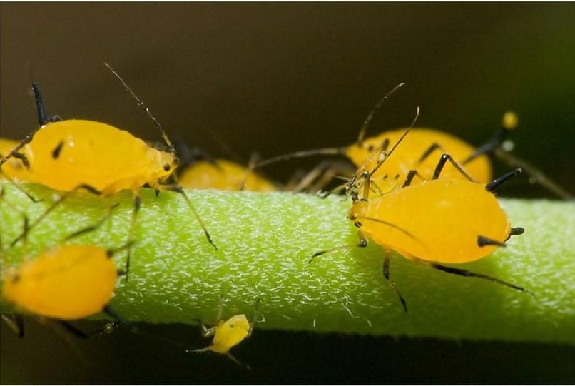 Como Prevenir Pragas e Doenças da Planta de Limão