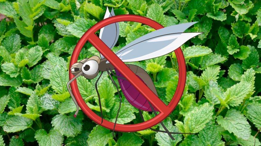 Plantas que Repelem Mosquitos
