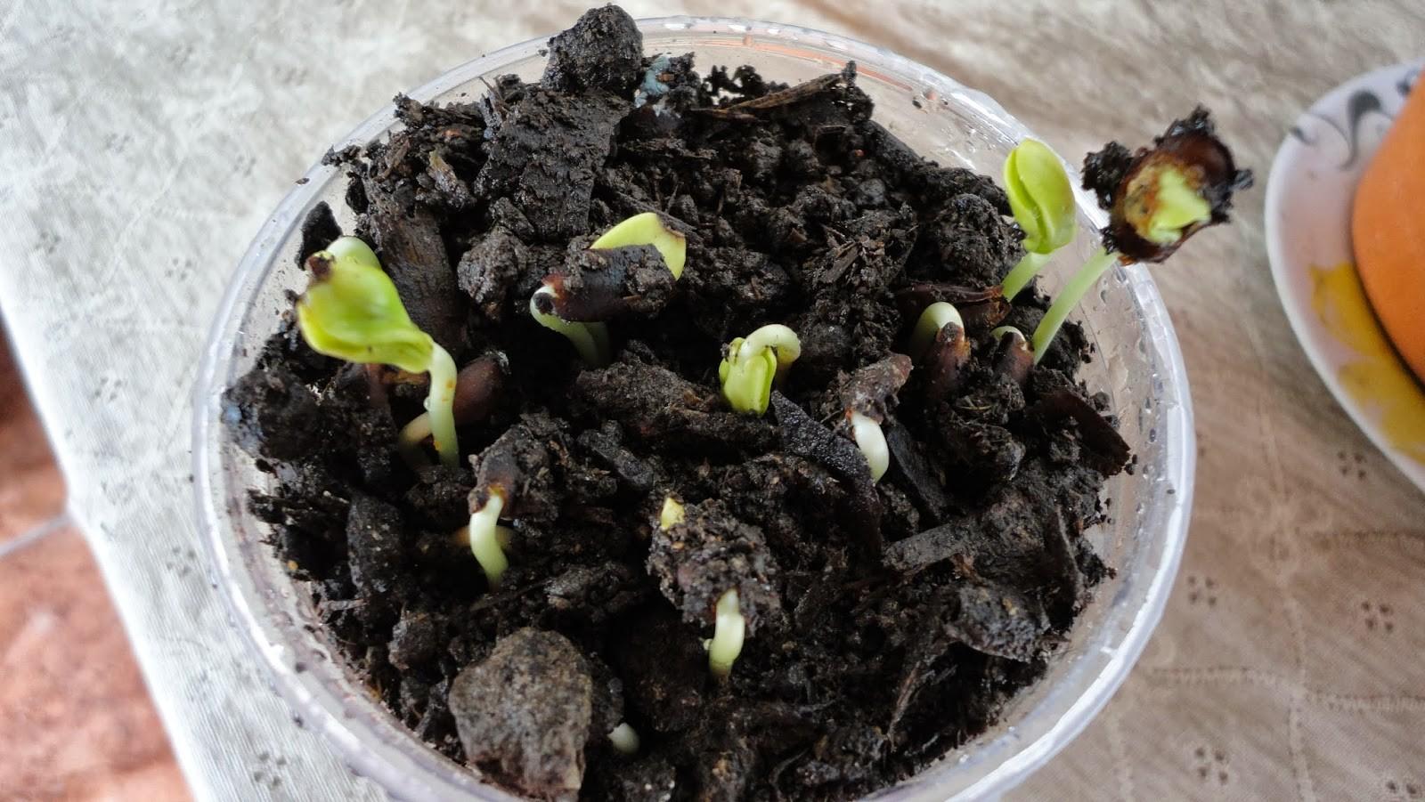 como germinar sementes
