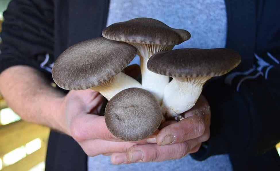 benefícios do cogumelo