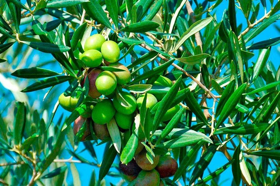 beneficios das azeitonas