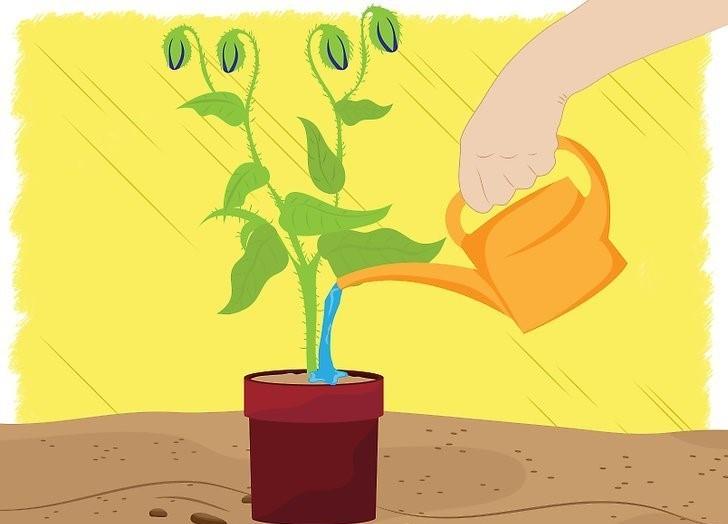 como plantar sementes de borragem