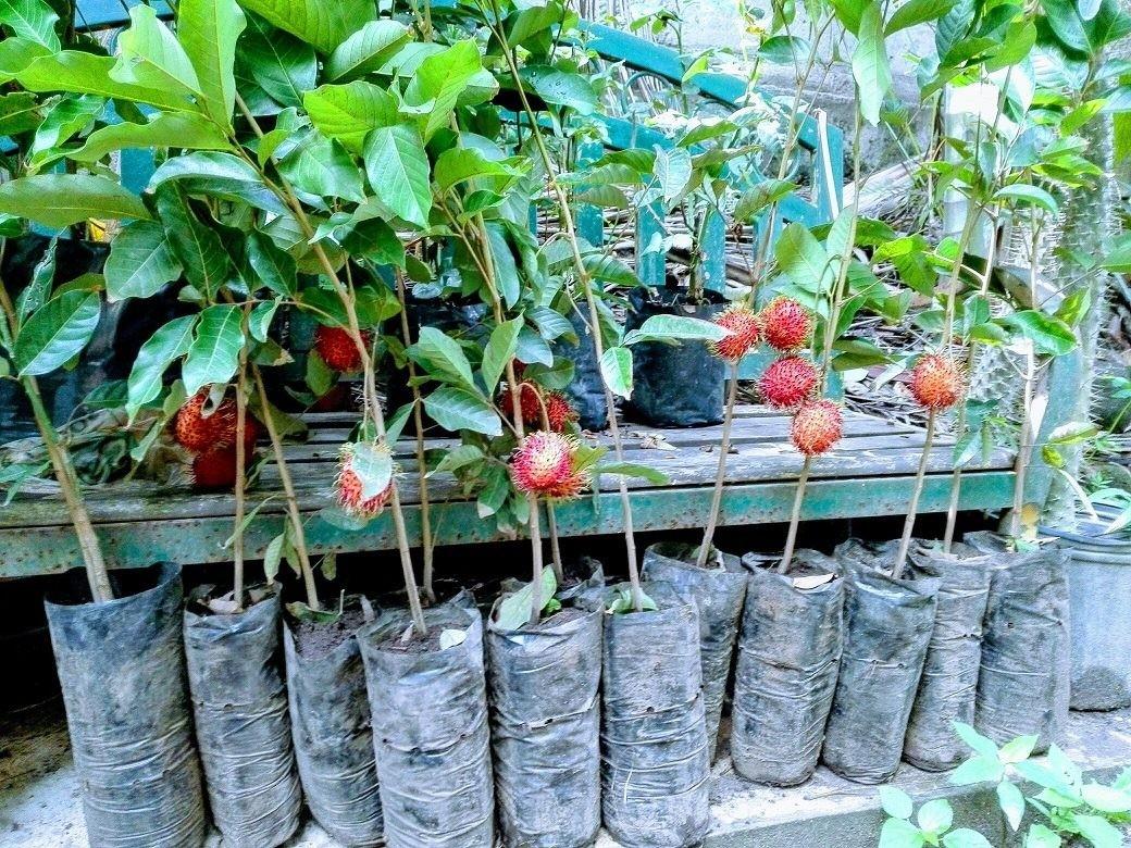 Como Plantar Rambutan