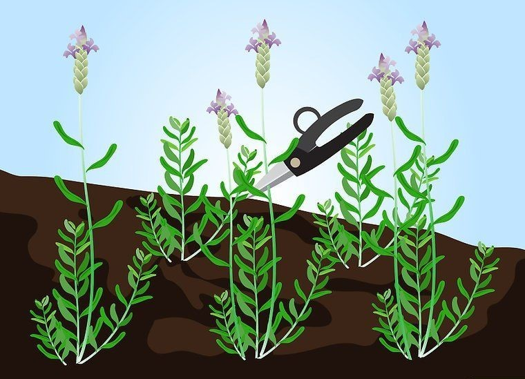 Como Plantar Lavanda