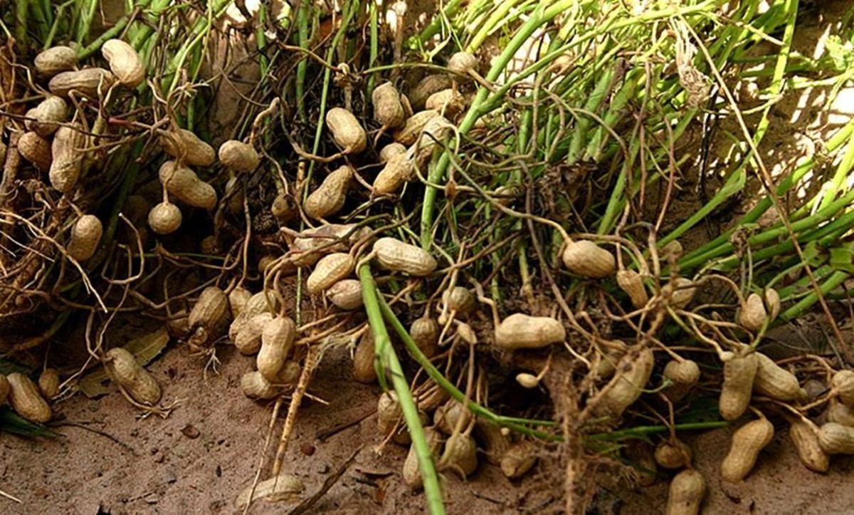 Como Plantar Amendoim