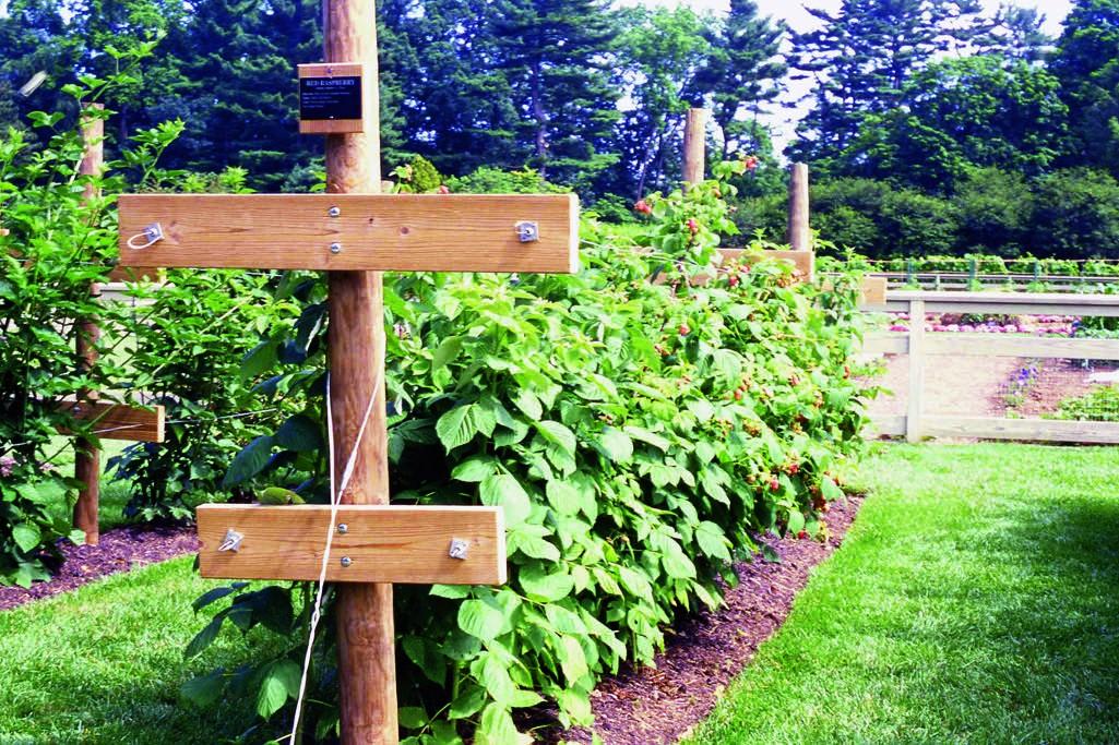 Como Plantar Framboesa