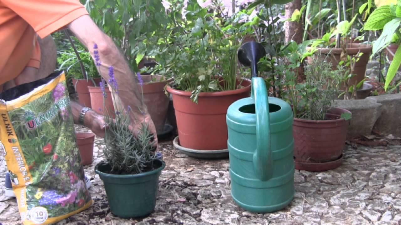 lavanda como plantar