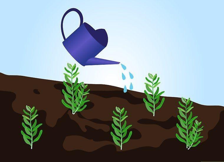 plantar lavanda em casa