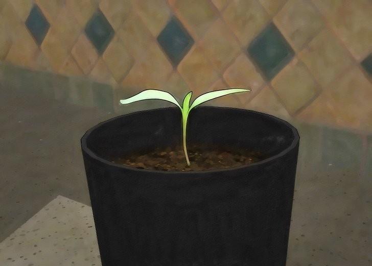 Como Plantar Azeitona