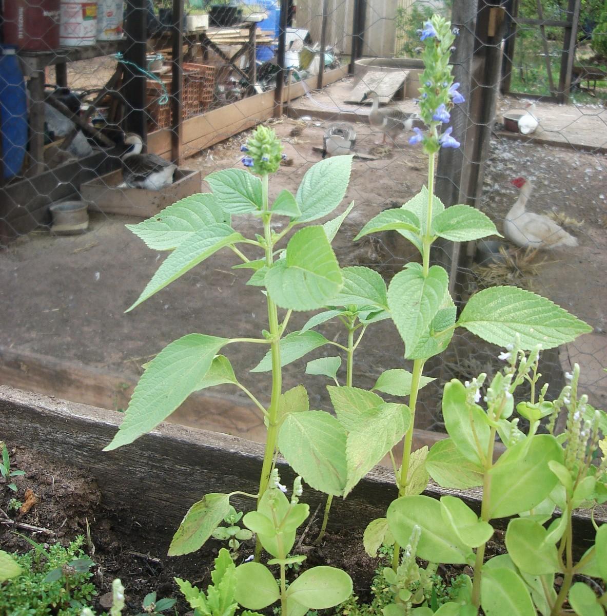 Como Plantar Chia