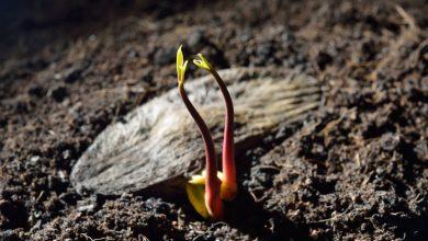 semente de manga germinando