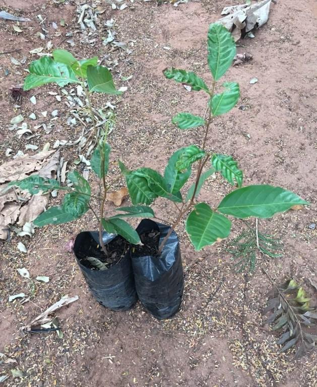 Como Plantar Mudas de Rambutan