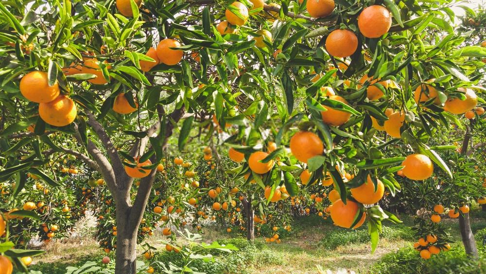 cuidado e manutencao da tangerina