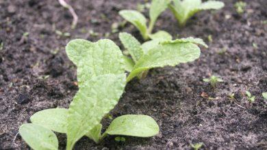 Como plantar sementes de borragem na horta