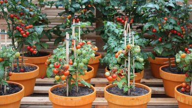 Como plantar tomate cereja em casa