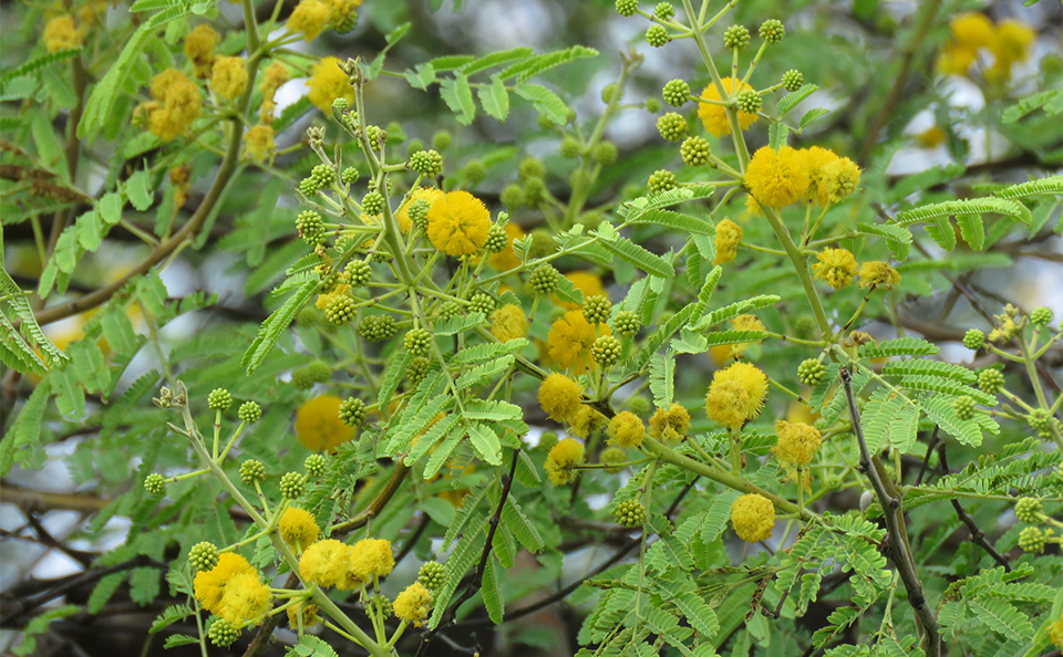 acacia como plantar