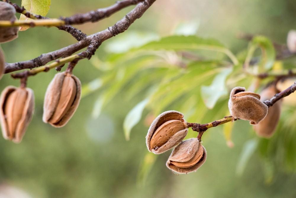 amendoas colheita