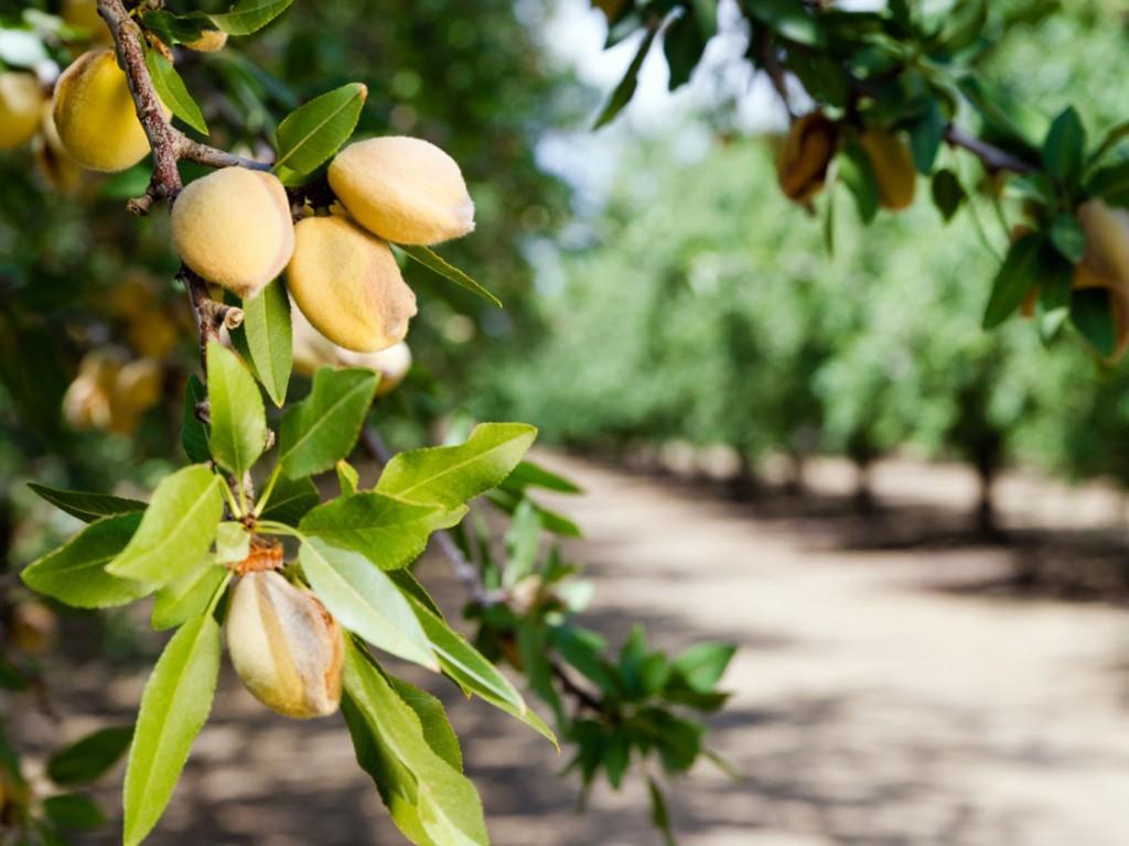 amendoas como plantar