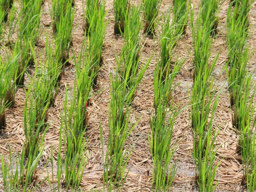 arroz colheita