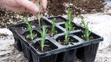 arruda como plantar