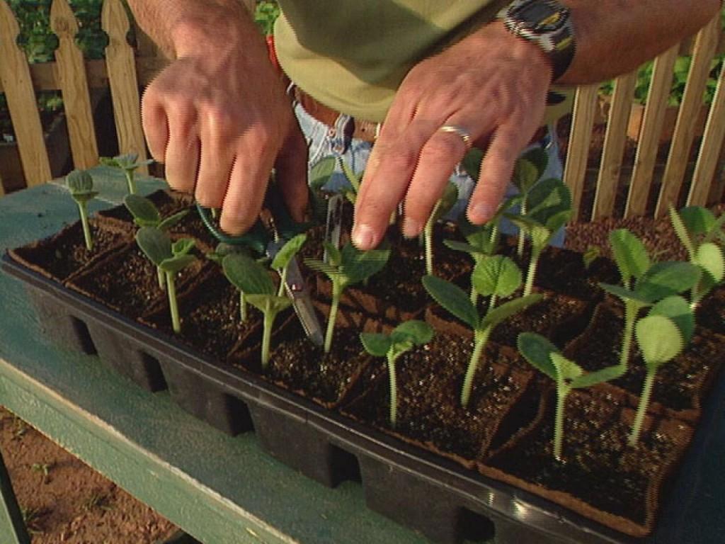 baunilha como plantar