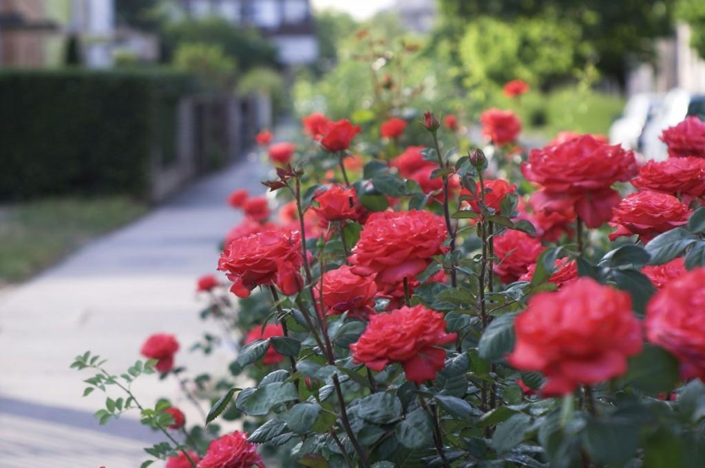 beneficios da rosa