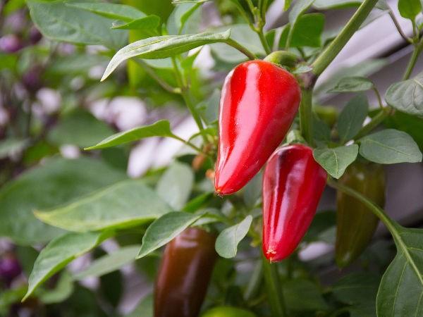 beneficios de plantar pimentao em casa