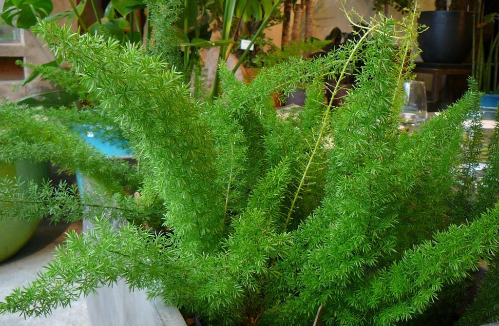 benefícios do aspargo