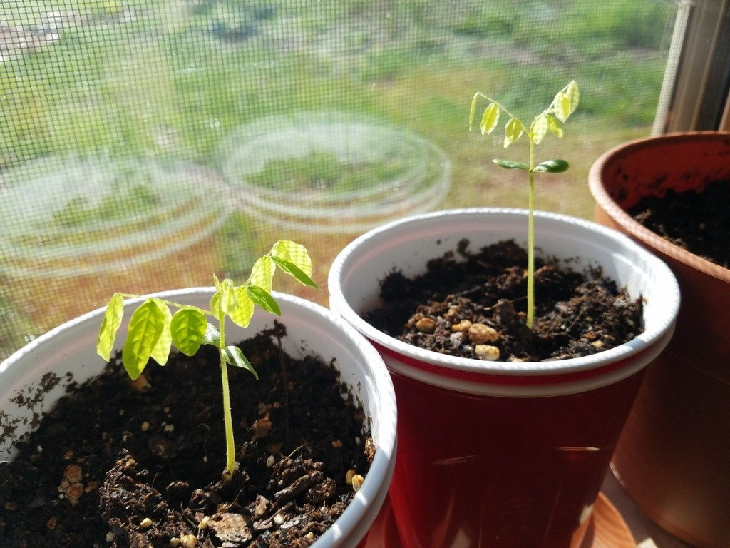 carambola como plantar