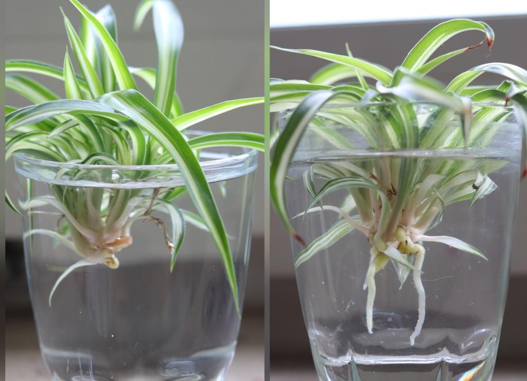 como enraizar a planta aranha na agua