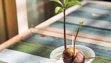 como germinar semente de abacate em casa